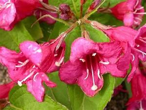 Weigela Bristol Ruby : weigela trees shrubs harley nursery shrewsbury ~ Michelbontemps.com Haus und Dekorationen