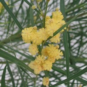 Mimosa Résistant Au Froid : mimosa resistant au froid ~ Melissatoandfro.com Idées de Décoration