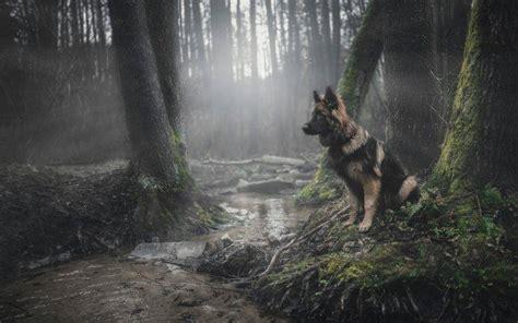 Animals, Dog, Forest, German Shepherd Wallpapers Hd