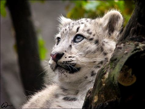 snow leopard baby woxys dreaming thank deviantart kovowolf