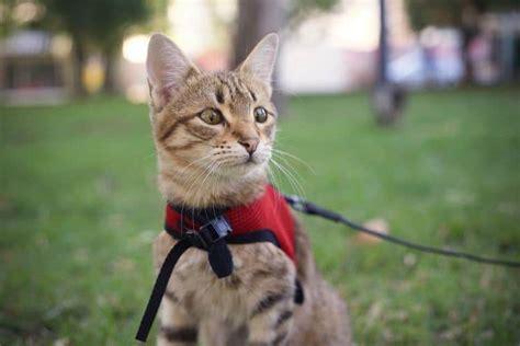 Best Cat Harness for Walking