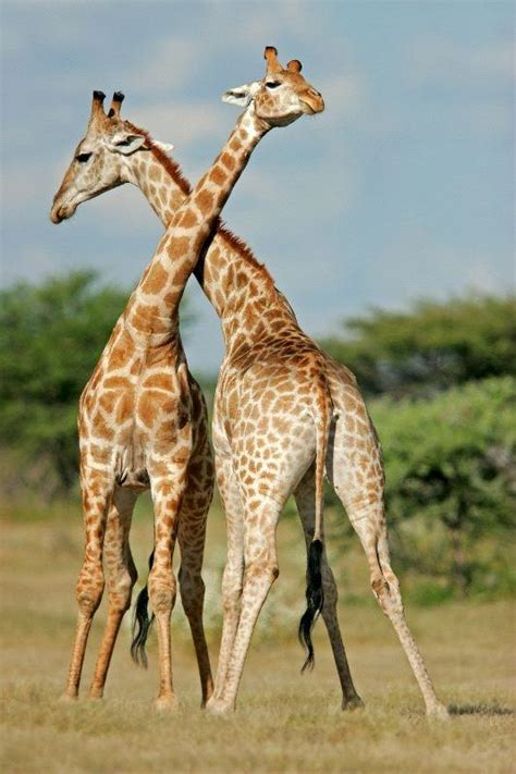 Why do giraffes sometimes fight each other with their ...