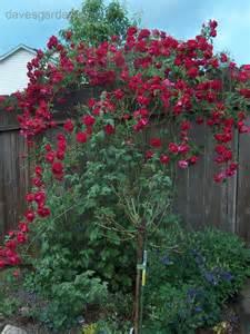 miniature tea roses plantfiles pictures climber hybrid tea large flowered
