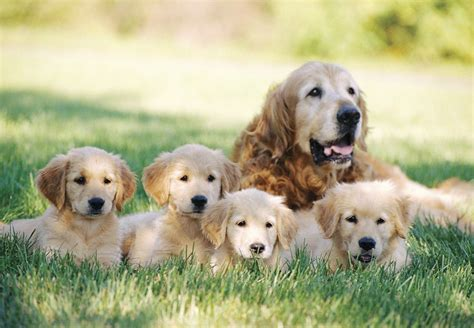 Cute Golden Retriever Puppies Pictures ~ Blog Of Cute