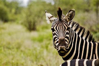 Zebra Africa South Wallpapers Commons Wikimedia Pixels