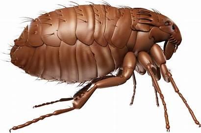 Flea Fleas Transparent Pest Control Touch Open