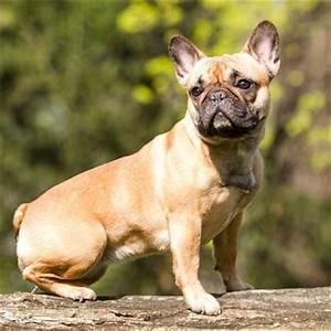 Hundebekleidung Französische Bulldogge : franz sische bulldogge wesen charakter ~ Frokenaadalensverden.com Haus und Dekorationen