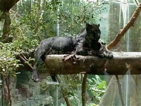 Black Jaguar Habitat by Word Count 1641
