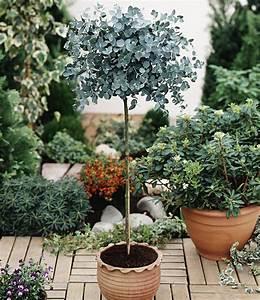 eukalyptus baumchen garten pinterest pflanzen With französischer balkon mit garten bäumchen