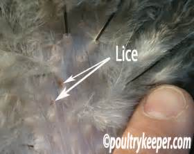 What Does Lice Look Like Chicken
