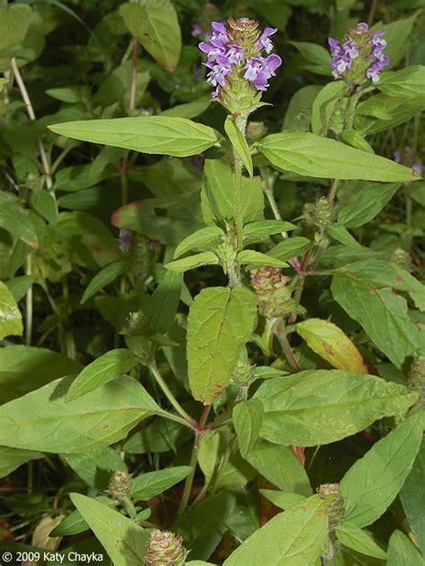 prunella vulgaris  heal minnesota wildflowers