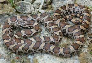 Eastern Milk Snake Ohio