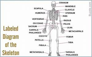 Human Skeleton Labeled Diagram   Human Skeleton Labeled