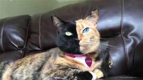 Venus Cat with Two Faces