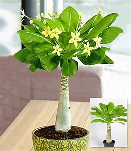 hawaii palme 1a zimmerpflanzen online kaufen baldur garten With garten planen mit ausgefallene zimmerpflanzen kaufen