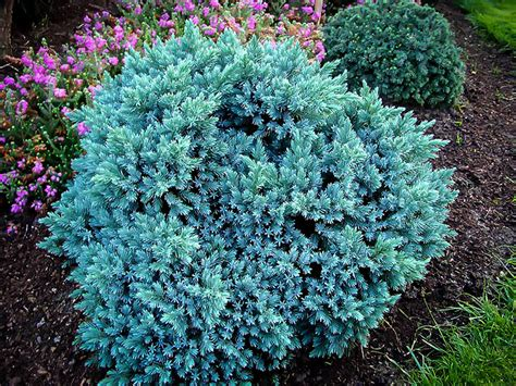 juniper plant blue star juniper shrub for sale online the tree center
