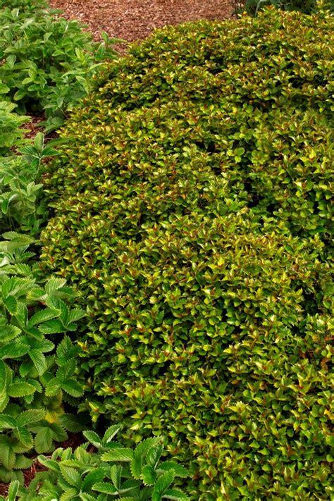 deer resistant shrubs 72 best images about deer resistant sun evergreen shrubs for md dc va on pinterest gardens