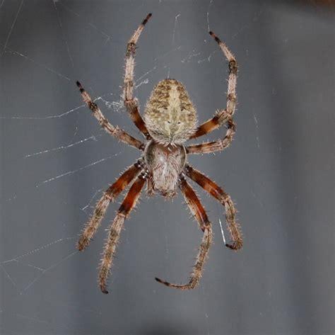 Garden Spider Toxicity by Are Garden Orb Web Spiders Poisonous Fasci Garden