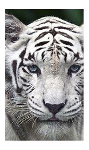 HD Wallpapers: White Tiger HD Wallpaper 1080p