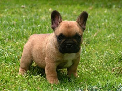 Jovial French Bulldog puppies for adoption. | Dogs ...