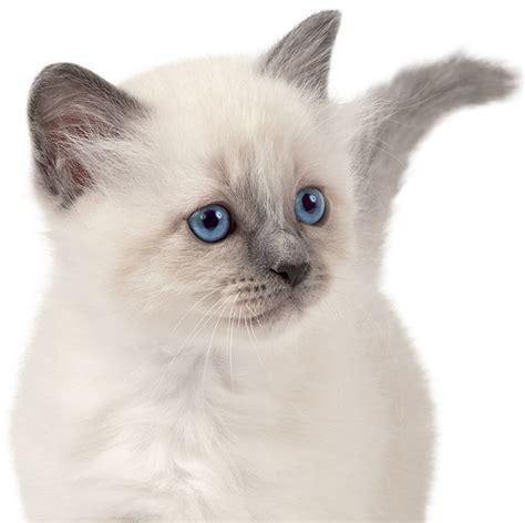 accueillir un chaton comment accueillir chat 224 la maison royal canin