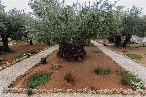 Kostenloses Foto Alter Olivenbaum Im Garten Getsemani