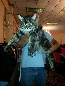 Dcfd Maine Coons - Retired Lover
