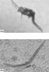 Matricide In C  Elegans Nematodes U2014internal Hatching Of The