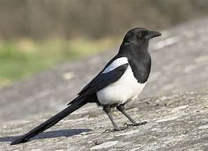 Elster Vogel Vertreiben : steckbrief elster ein herz f r tiere magazin ~ Lizthompson.info Haus und Dekorationen