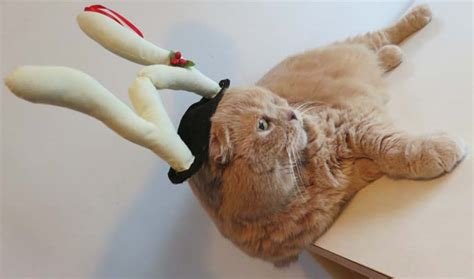 scottish fold cat in reindeer antlers or horns christmas