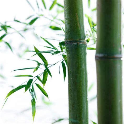 natural characteristics  bamboo bgbamboo
