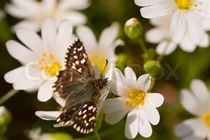 Kleine Fliegen In Blumen : blume fl gel skipper schmetterling antenne insekten ~ Lizthompson.info Haus und Dekorationen