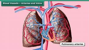 Blood Vessels  U2013 Arteries And Veins