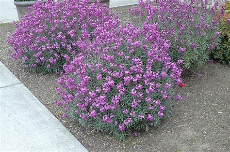 mauve bowles wallflower erysimum plants plant garden purple echter flower flowers pots nursery center echters bloom gardenworks shelmerdine care perennials