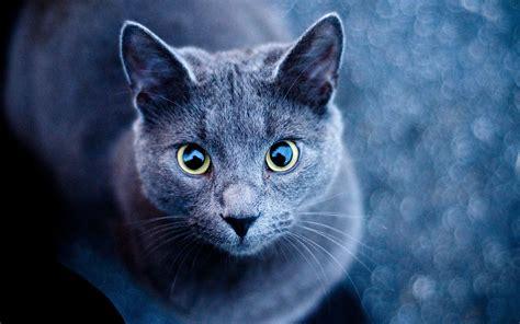 animals cat russian blue wallpapers hd desktop