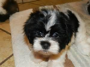 Cute Shih Tzu Puppies for Adoption