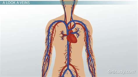 veins functions explanation video lesson
