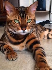 toyger cats toyger cat history and breed information save more animals