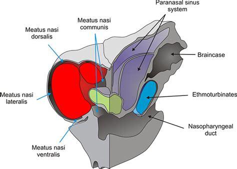 Nasal Airflow Diagram by Glyptodont Nasal Anatomy Figures