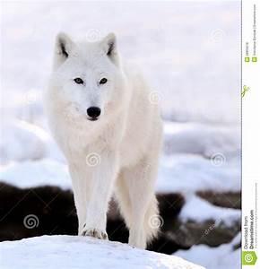 wolf, royalty, free, stock, photos