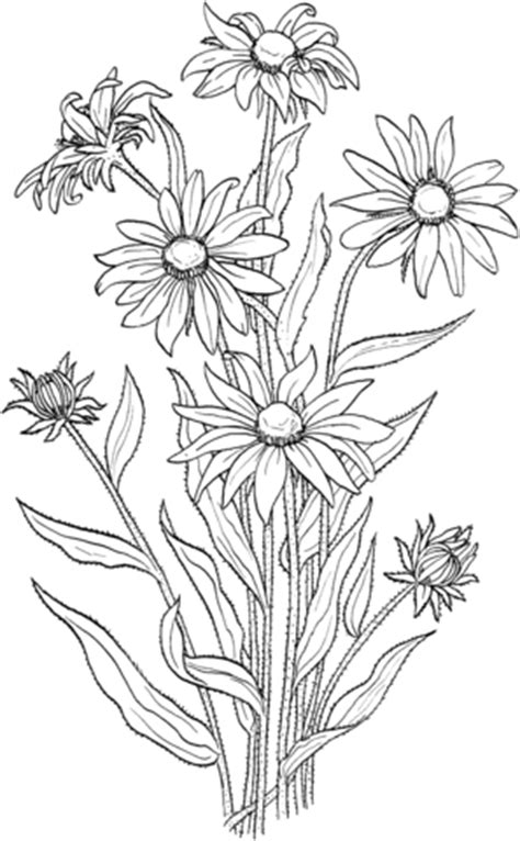 rudbeckia hirta  black eyed susan coloring page supercoloringcom