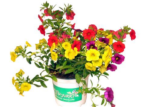 gemüse anbauen hochbeet zaubergl 246 ckchen calibrachoa lexikon f 252 r kr 228 uter und pflanzen