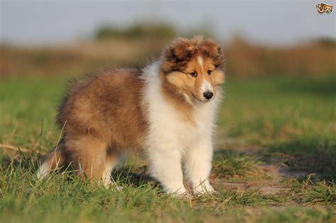 shetland sheepdog dog breed facts highlights buying