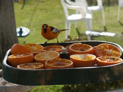 where to hang oriole bird feeder birdcage design ideas