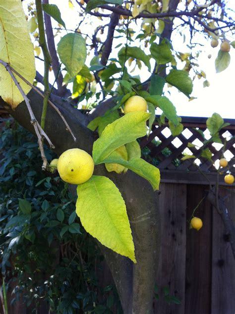 diagnosis    lemon tree  yellowing leaves