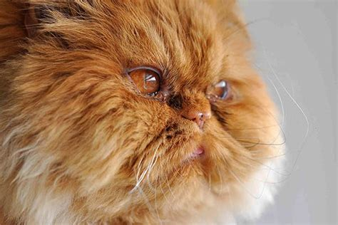 eye in cats symptoms causes diagnosis treatment