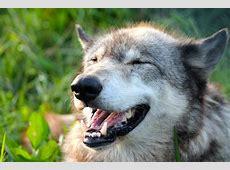 Happy Wolf by Cometbt on DeviantArt