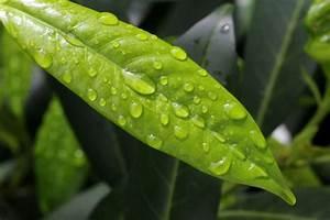 Kirschlorbeer Braune Blätter : kirschlorbeer pflanzen schneiden pflegen experten tipps plantura ~ Frokenaadalensverden.com Haus und Dekorationen