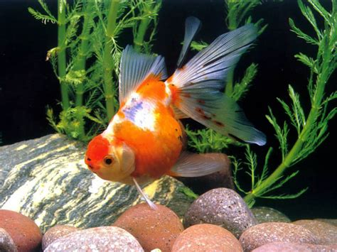 hd wallpapers gold fish pictures