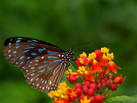 20+ Colourful Butterflies Hd Wallpapers